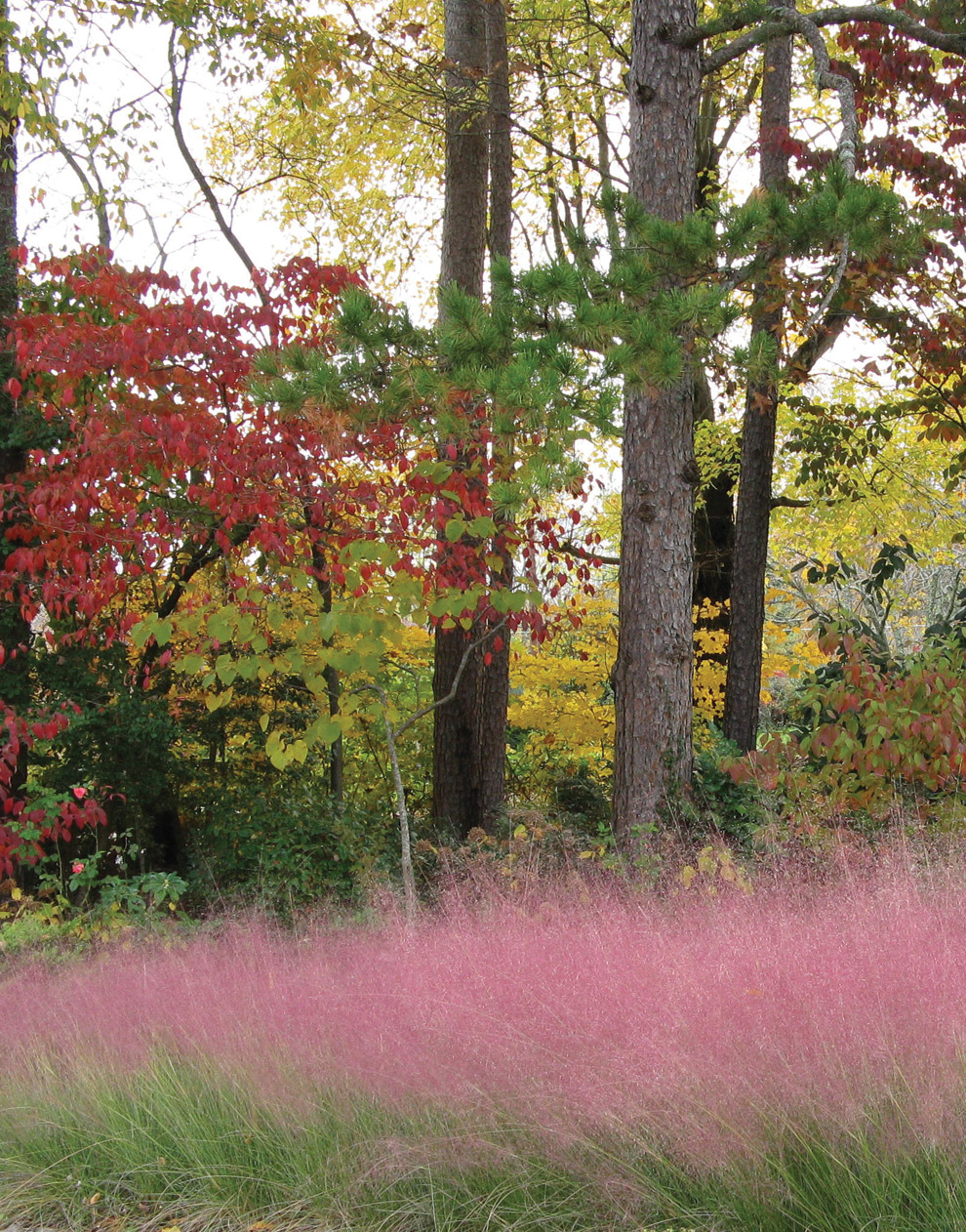 A wonderful pink muhly grass for the Masses State by State Gardening