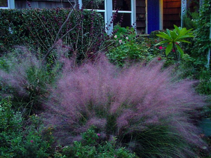 Awesome Pink Muhly Grass For Garden Plant Ideas