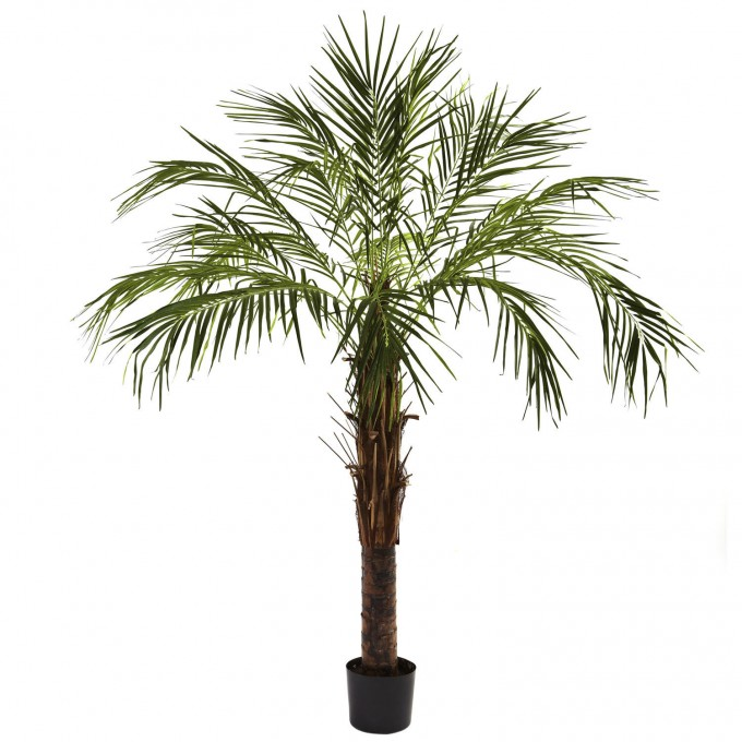 Awesome Potted Robellini Palm Tree In Single Trunk For Home Landscaping Ideas