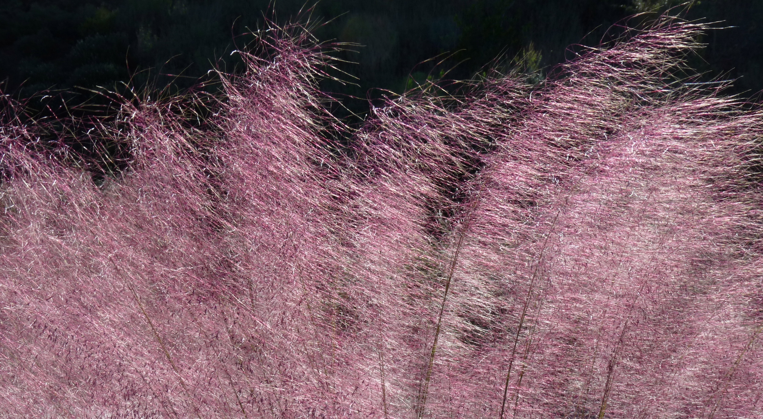 Beautiful pink muhly grass for beautiful landscaping ideas