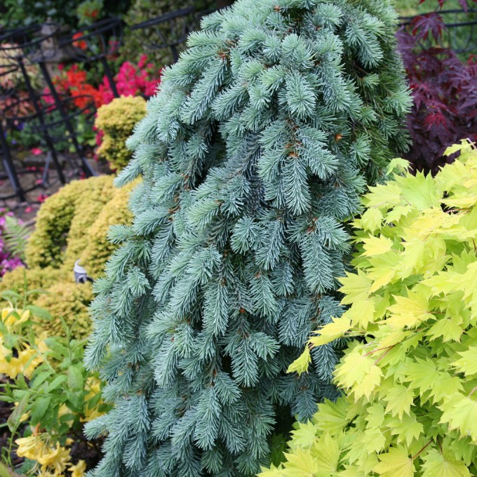 Beautiful Weeping Norway Spruce Pendula For Garden Plant Ideas