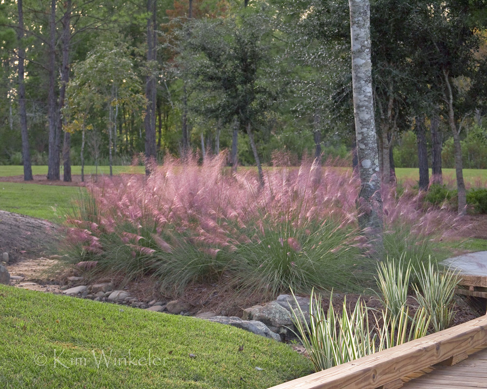 charming Dwarf pink muhly grass for landscaping ideas