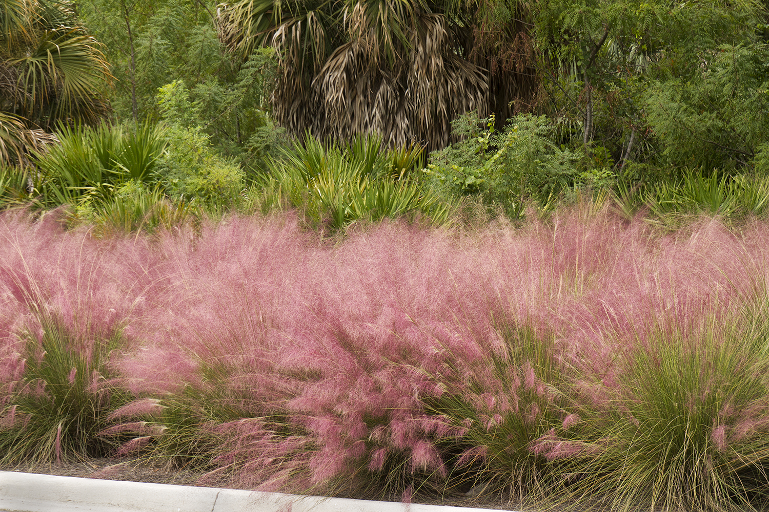 charming pink muhly grass for wonderful garden plant ideas