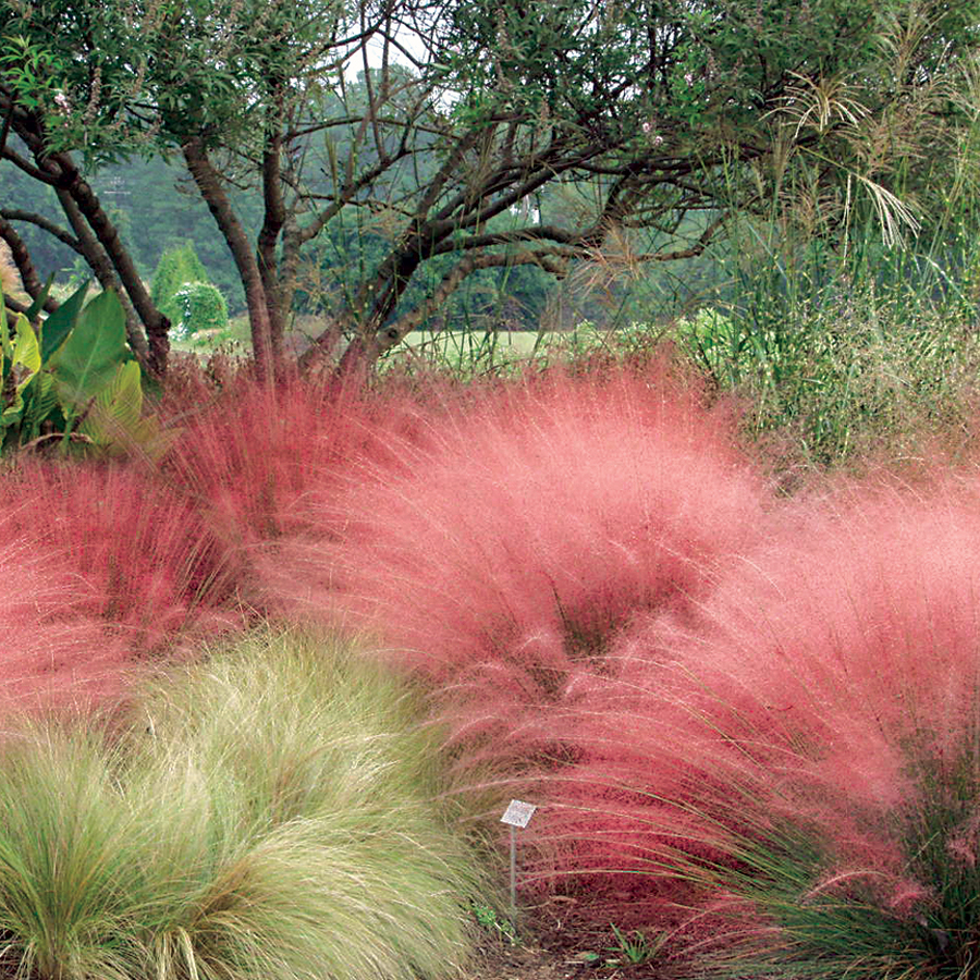 charming pink muhly grass is a good ideas for your garden garden