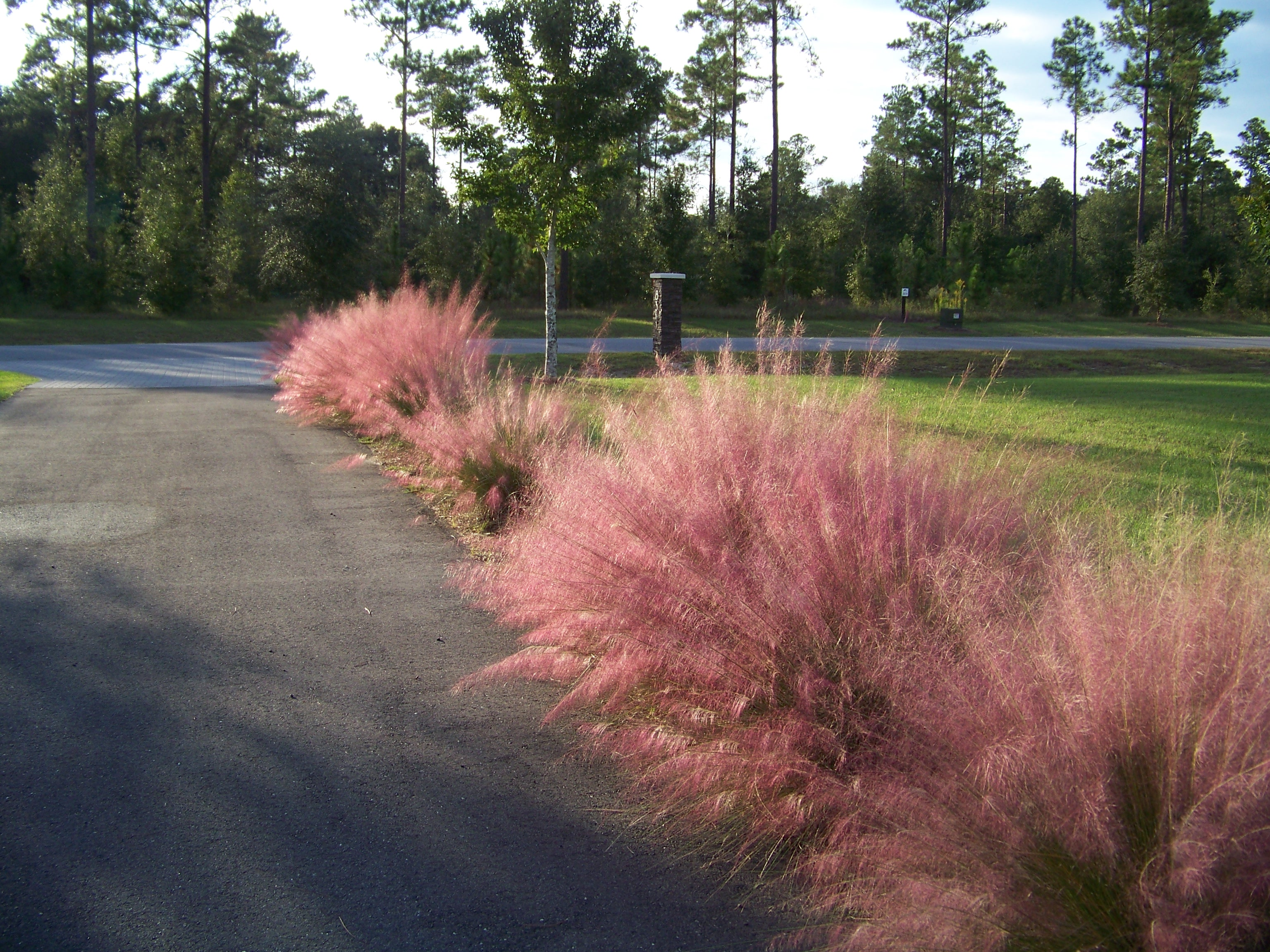 charming pink muhly grass near the walkway ideas