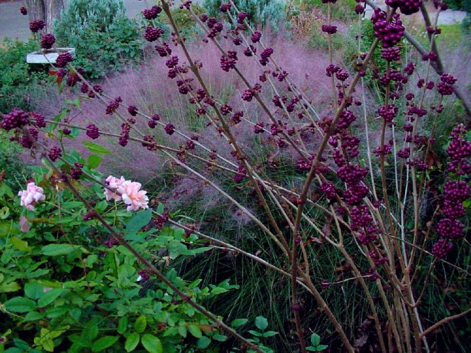 Cool Pink Muhly Grass With Donalds Organic Texas Garden