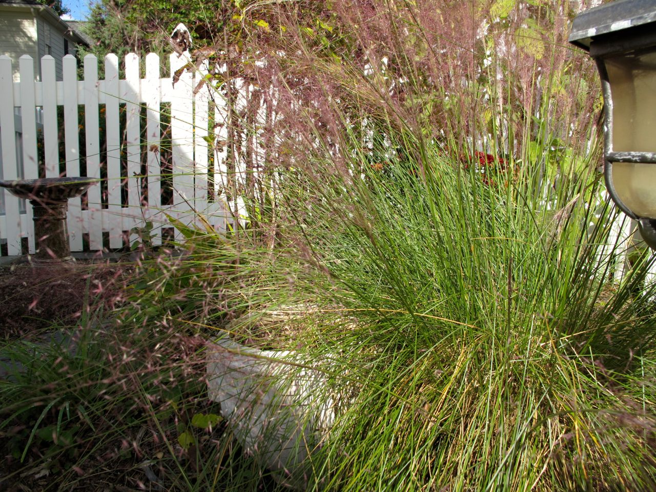Italian Cypress Beauty pink muhly grass for wonderful landscaping ideas