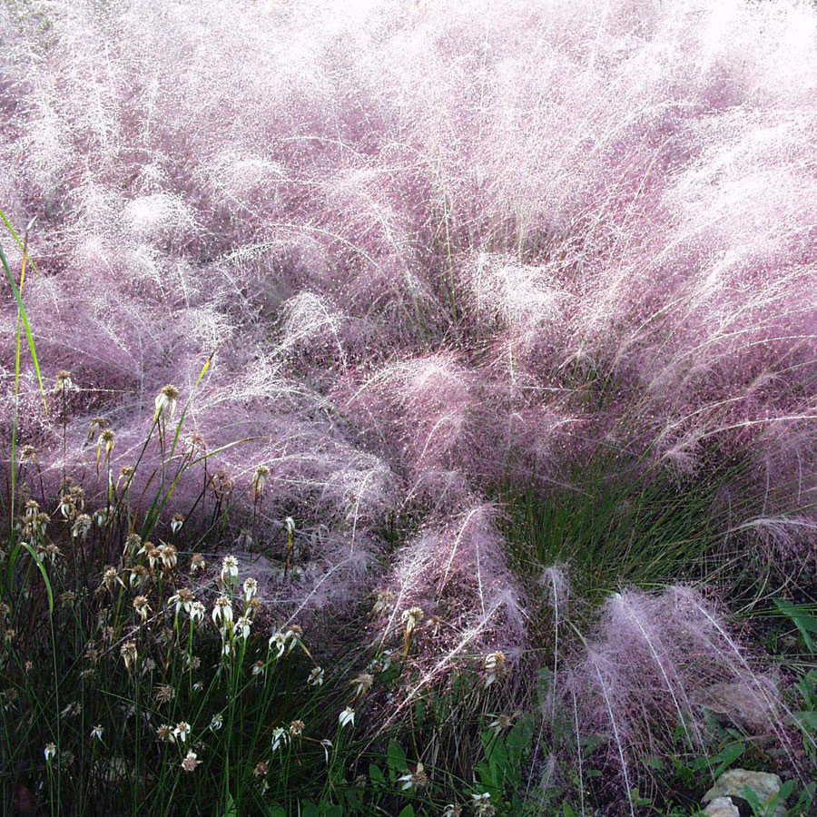 lovely pink muhly grass for wonderful landscaping decoration ideas