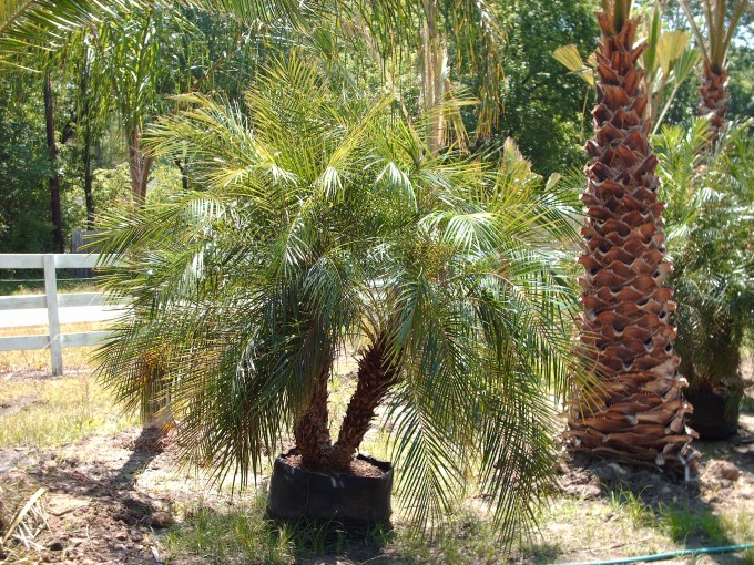 Lovely Robellini Palm Tree For Chic Home Landscaping Ideas