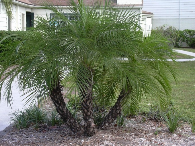 Pretty Short Robellini Palm Tree With Triple Trunk For Landscaping Ideas
