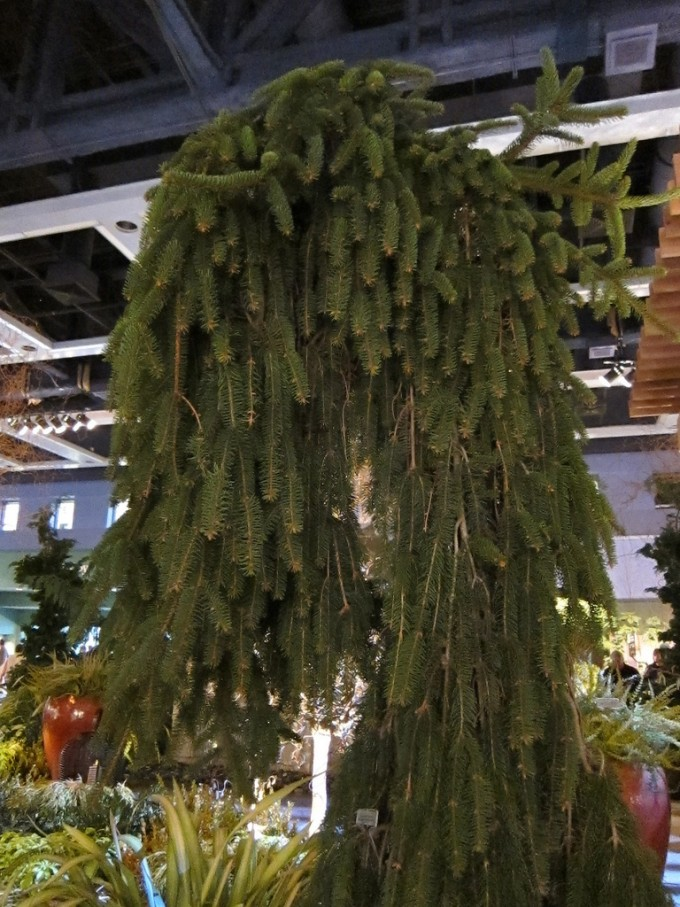 Wondeful Weeping Norway Spruce