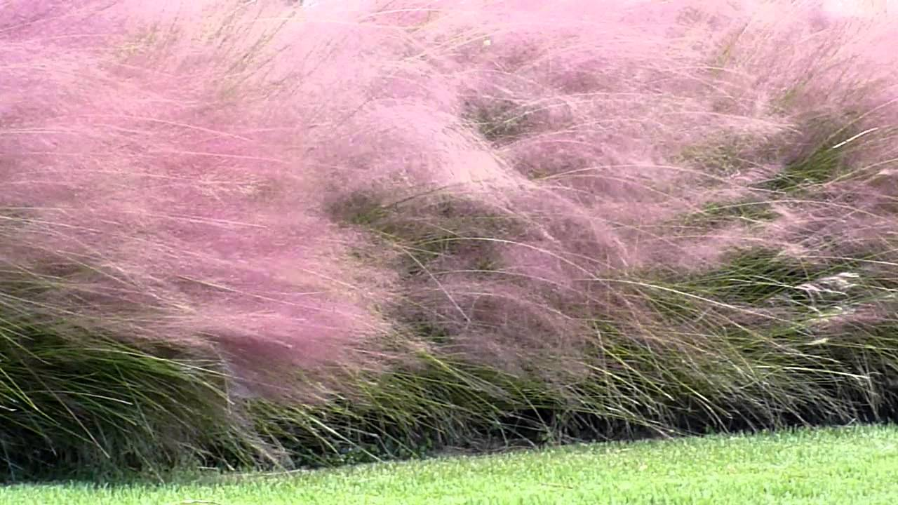 wonderful dwarf pink muhly grass for garden decor ideas
