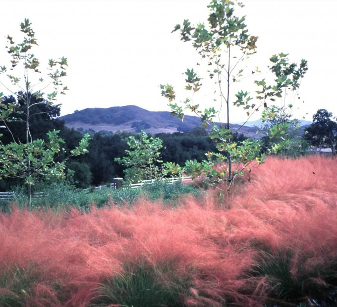 Wonderful Pink Muhly Grass For Garden Plant Ideas