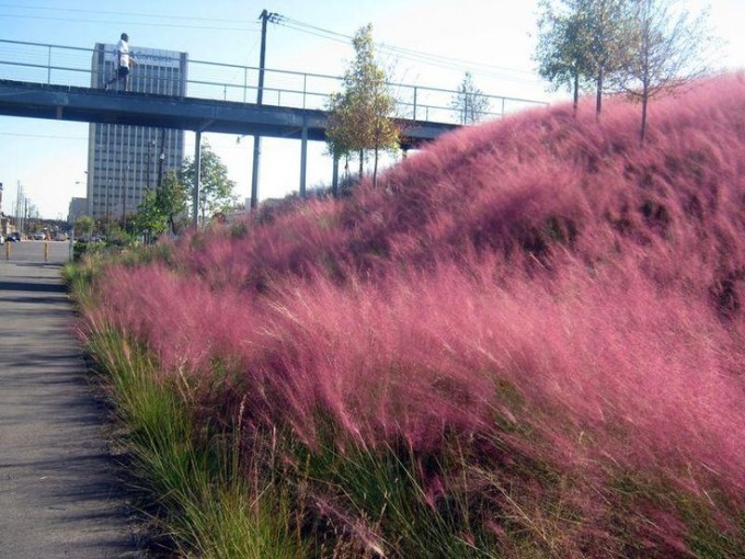 Wonderful Pink Muhly Grass For Landscaping Ideas