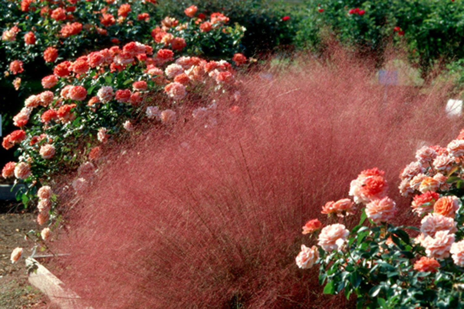 wonderful pink muhly grass with blossom roses for wonderful garden plant ideas