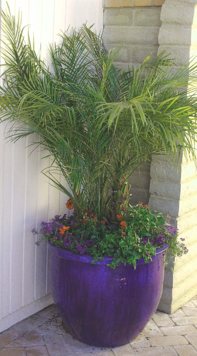 Wonderful Robellini Palm Tree With Charming Purple Flowers On Black Pot For Home Yard Ideas